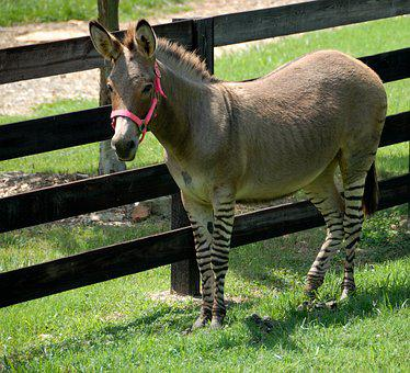 Donkey, Zonkey, Mixed Breed, Part Donkey, Part Zebra