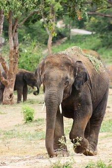 Elephant, Big, Nature, Wildlife, Walking, Safari, Zoo