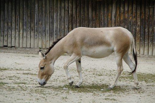 Onager, Donkey, Asian Ass, Zoo, Equus Hemionus
