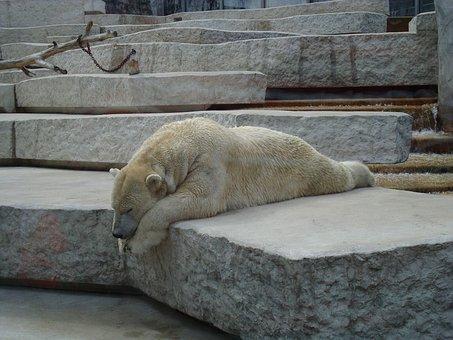Bear, Lazy, Sleep, Zoo, Animals, Polar Bear, Fur, White