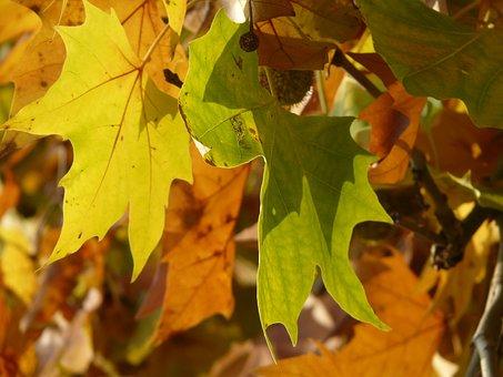 Leaves, Maple Leaved Plane, Bastard Plane, Common Plane