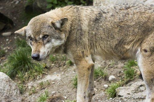 Wolf, Canis Lupus, European Wolf, Animal, Predator