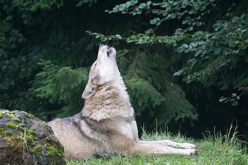Wolf, Howl, Wolf Howling, European Wolf, Carnivores