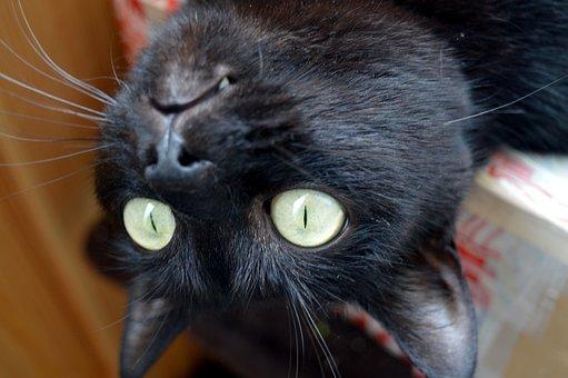 Cat, Foolish, Delighting, Black Cat, Curiosity