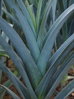 Winter Leek, Leek Growing, Field, Agriculture, Leek