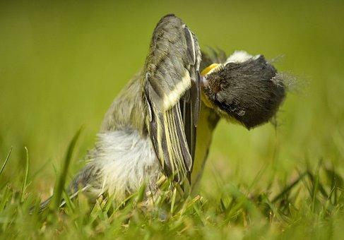 Great Tit Chick, English Garden Bird