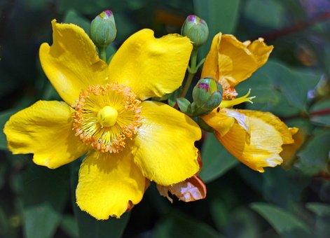 Großblumiges St John's Wort, St John's Wort, Blossom