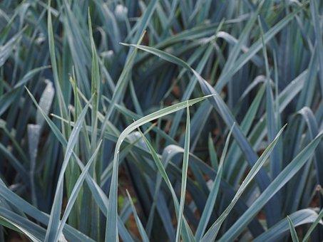 Winter Leek, Leek Field, Leek Growing, Field