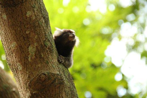 Mico, Monkey, Rio, Marmoset, Nature, Animal, Forest