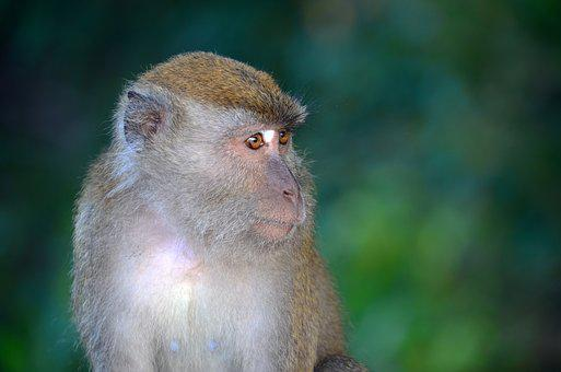 Monkey, Portrait, Animal, Wildlife, Wild, Nature