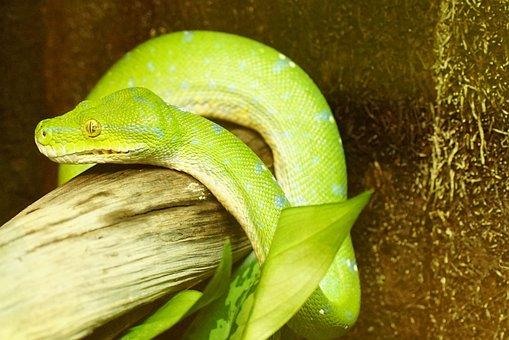 Green Tree Python, Snake, Non Toxic