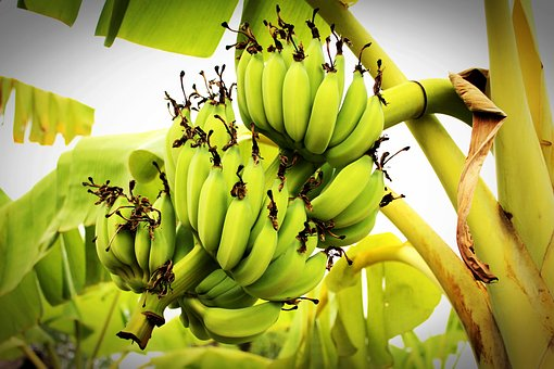 Banana, Tree, Green, Forest, Plant, White, Yellow