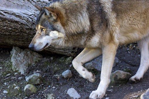 Wolf, Canis Lupus, Predator, Profile, Portrait