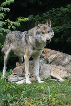Wolf, Predator, Leitwolf, Alpha Dog, Dominant, Survive