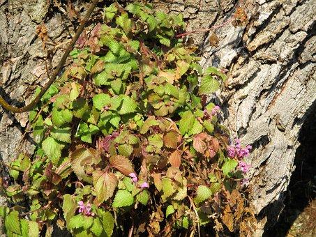 Common Maple, Climber, Nature, Tree, Bark, Flowers