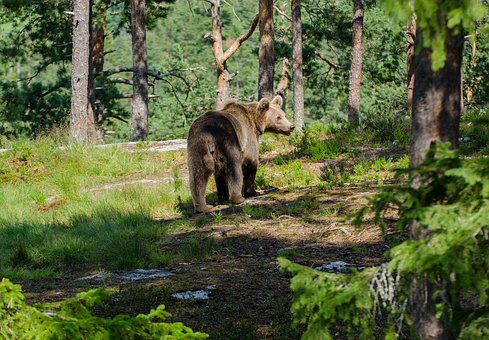 Bear, Animals, Forest, The Nature Of The, Three, Trees
