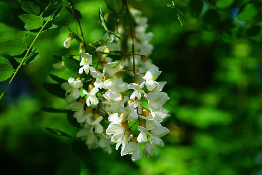 Flowers, Inflorescence, White, Common Maple, Robinia