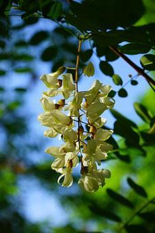 Common Maple, Robinia, Flowers, Inflorescence, White
