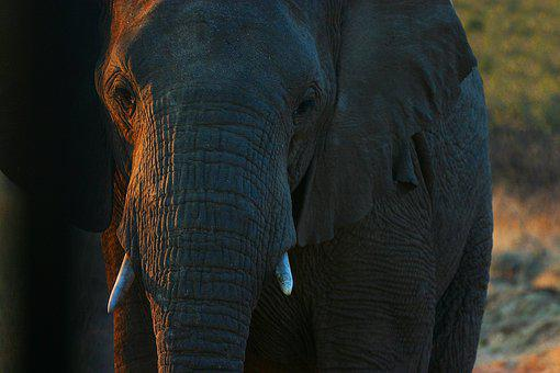 Elephant, Elephant Boy, Africa, Safari, Animal