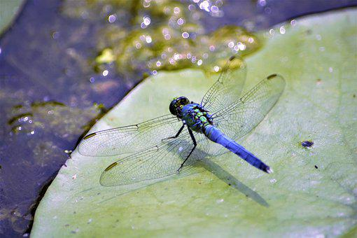 Dragonfly, Large, Blue, Closeup, Lily Pad, Insect