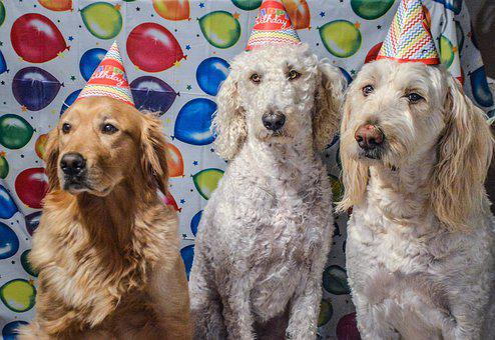 Dogs, Goldendoodle, Labradoodle, Golden Retriever