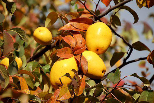 Quince, Trees, Quince Paste, Jam Of Quince