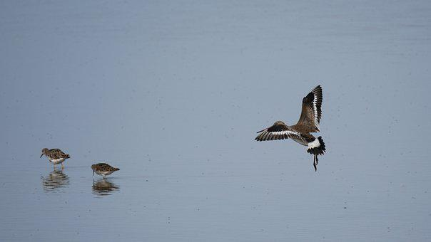 Shore Snipe, Migratory Bird, Snipe, Microdrile, Wader