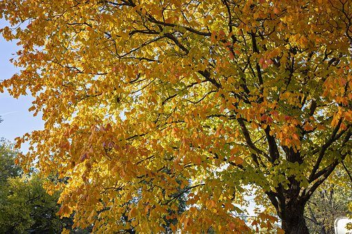 Maple, Tree, Yellow, Leaves, Nature, Fall, Autumn