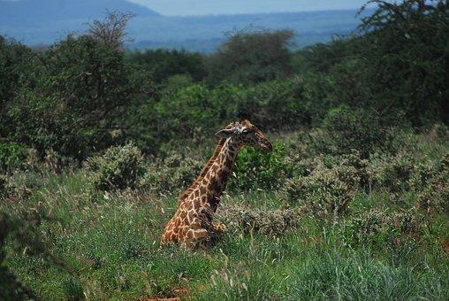 Giraffe, Rest, Nature, Resting, Wildlife, Africa, Tsavo