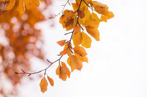 Leaves, Beech, Autumn, Colorful, Orange, Forest, Branch