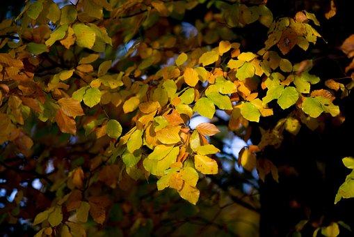 Autumn, Leaves, Sun, Beech, Colorful, Foliage, Tree