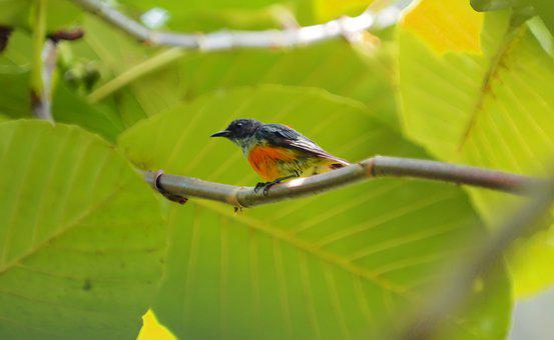 Orange-bellied Flowerpecker, Wild, Bird, Seasonal