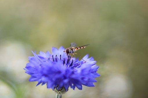 Flower, Blossom, Bloom, Schebfliege, Insect, Violet