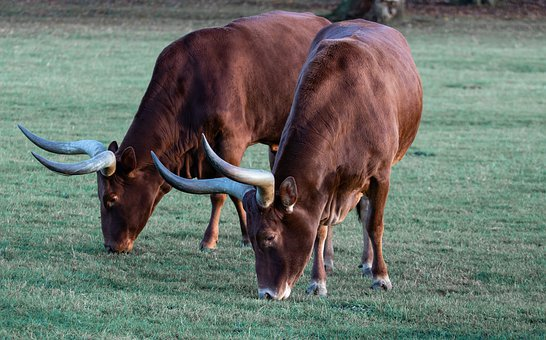 Ankole, Ankole Cow, Horned Cow, African Cow, Brown Cow