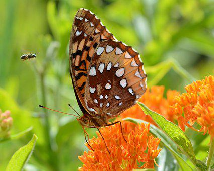 Butterfly, Great Spangled Fritillary, Speyeria Cybele