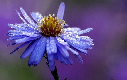 Flower, Blossom, Bloom, Purple, Violet, Dewdrop, Flora