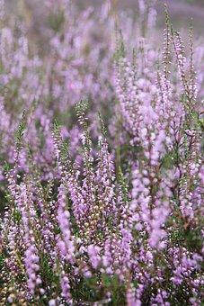 Pink, Blooming, Heath, Heather, Plants, Flowers, Macro