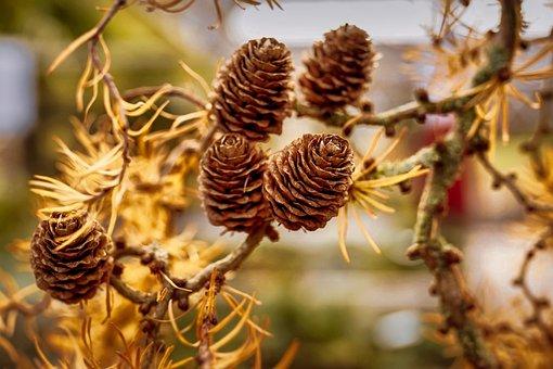 Larch, Needles, Branch, Tap, Lerch Tap, Autumn, Conifer