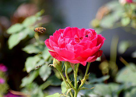 Rose, Flower, Insect, Nature, Bloom, Blossom, Summer