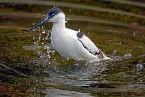 Avocet, Swimmers Bird, Recurvirostra Avosetta, Waders
