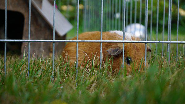 Guinea Pig, Pet, Nager, Rodent, Cute, Smooth Hair