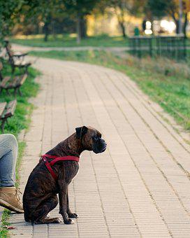 Dog, Fur, Brown, Leash, Red, Sitting, Placed