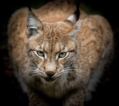 Lynx, Predator, Animal World, Nature, Hunter, Wild