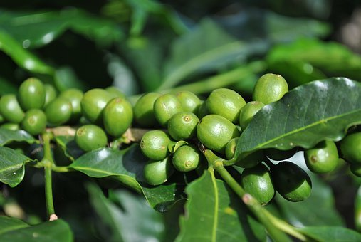 Coffee Costa Rica, Green Coffee, Coffee Plant