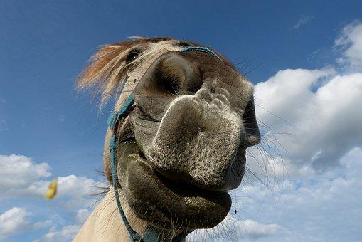 Horse, Horses Mouth, Nostrils, Friendship, Mane, Head
