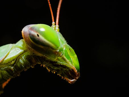 Mantis, Head, Portrait, Insect, Mantidae, Close Up