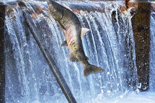 Natural, Landscape, River, Water, Fish, Salmon, Run-up