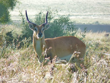 Lechwe, Antelope, Marsh Antelope, Africa, Animal World