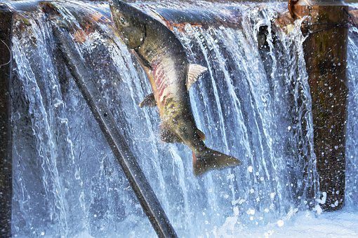 Natural, Landscape, River, Water, Fish, Salmon, Run-up