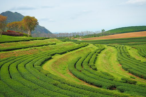 Tea Leave Firm, Chaing Mai, Thailand